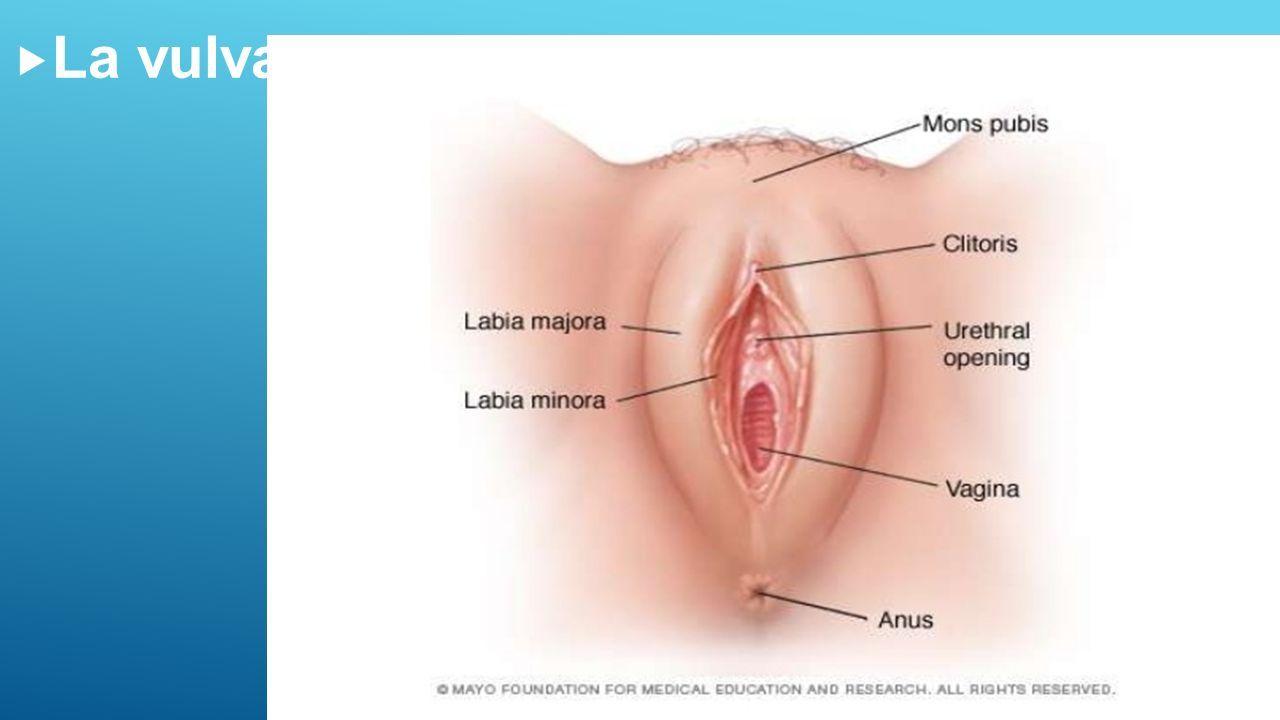 Hermosa Anatomía De Los Labios Mayores Bandera - Anatomía de Las ...