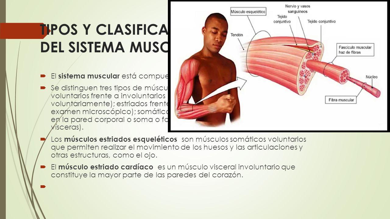 Perfecto Anatomía Microscópica Del Músculo Esquelético ...