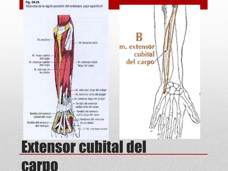 Increíble Los Tendones Del Pulgar Anatomía Imagen - Anatomía de Las ...