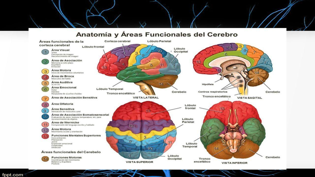Perfecto Anatomía Y Funcionales áreas Del Cerebro Composición ...