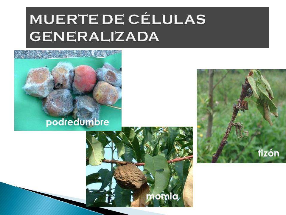 MSc. Miguel Quilambaqui Crecimiento anormal.- puede corresponder a tumores, agallas, ampollamientos foliares, deformación de frutos, proliferación de