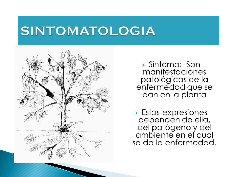 Síntoma: Son manifestaciones patológicas de la enfermedad que se dan en la planta Estas expresiones dependen de ella, del patógeno y del ambiente en el cual se da la enfermedad.