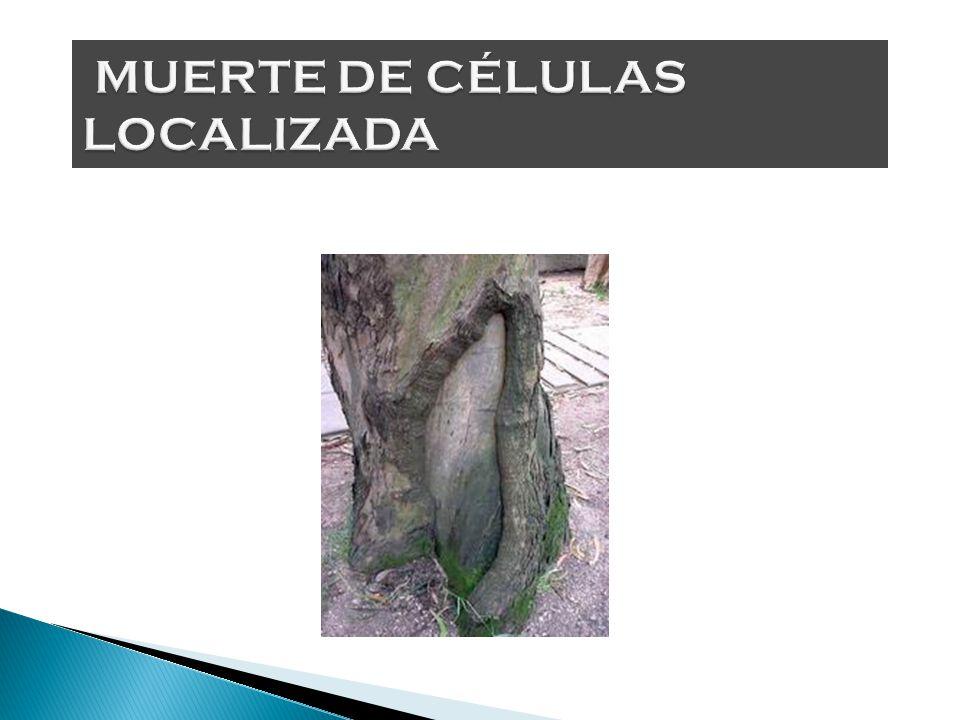 CAMBIOS DE COLOR clorosis halo clorótico mosaico anillos cloróticos