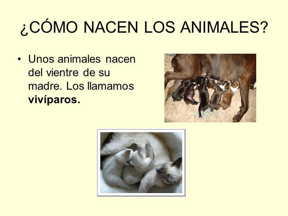 ¿CÓMO NACEN LOS ANIMALES? Unos animales nacen del vientre de su madre. Los llamamos vivíparos.