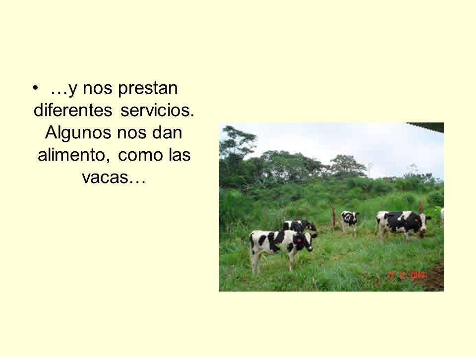 …y nos prestan diferentes servicios. Algunos nos dan alimento, como las vacas…