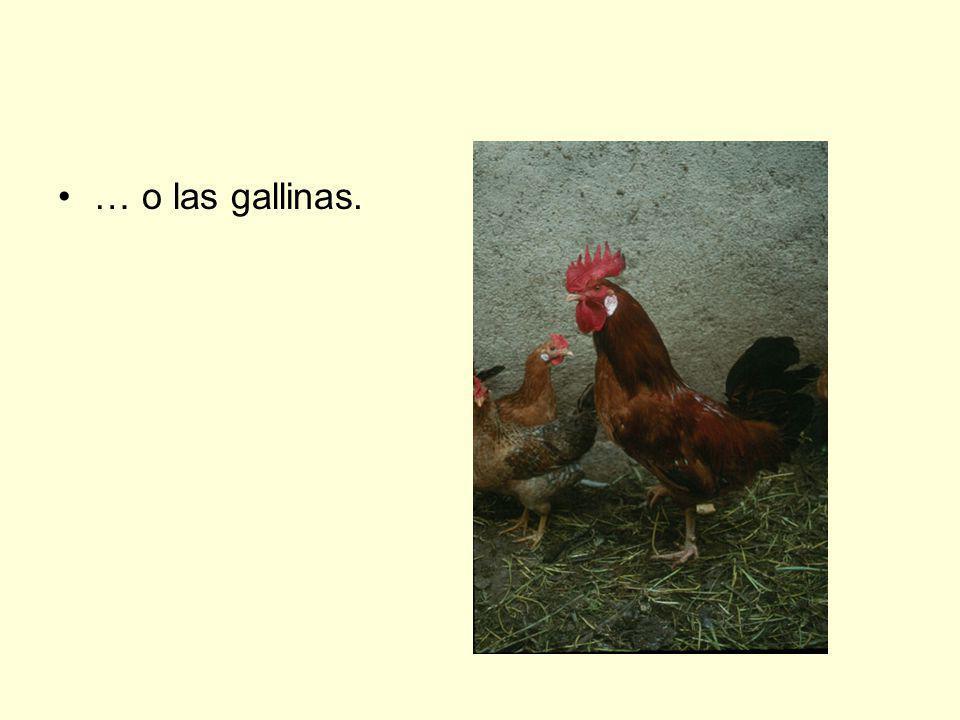… o las gallinas.