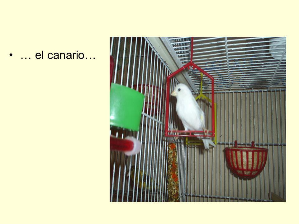 … el canario…