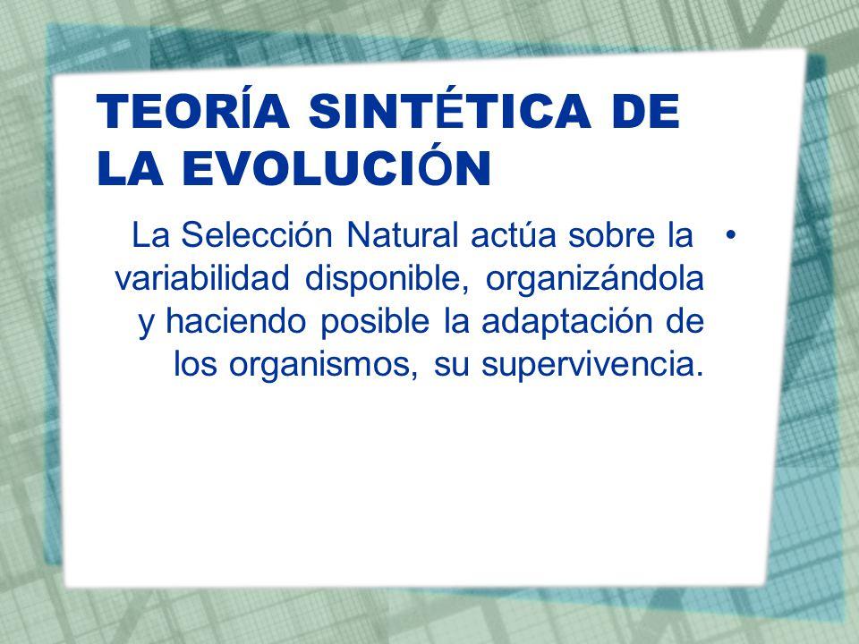 TEOR Í A SINT É TICA DE LA EVOLUCI Ó N La Selección Natural actúa sobre la variabilidad disponible, organizándola y haciendo posible la adaptación de