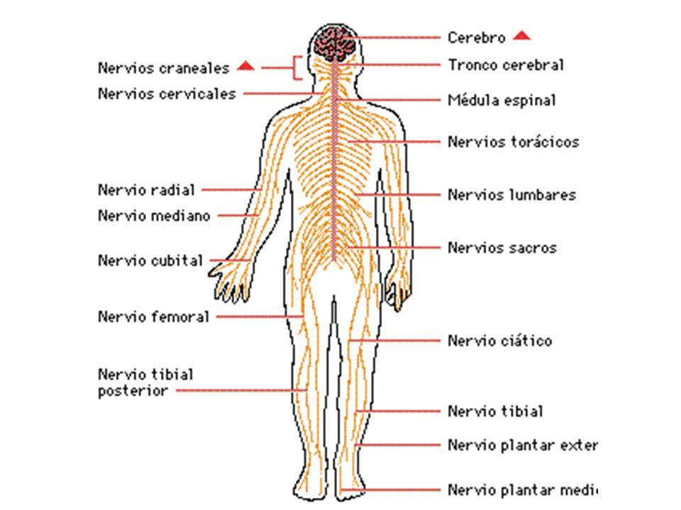 Está constituido por un conjunto de nervios encargados de las actividades involuntarias de las vísceras y órganos internos.