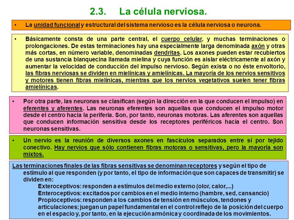 La unidad funcional y estructural del sistema nervioso es la célula nerviosa o neurona. Básicamente consta de una parte central, el cuerpo celular, y