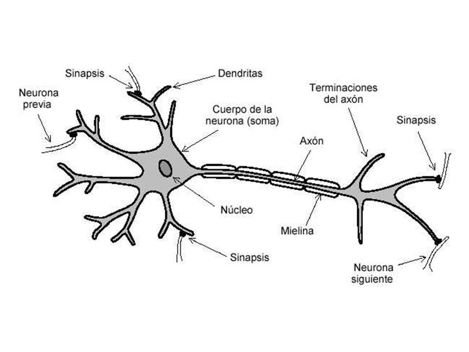 Los nervios tienen dos cualidades básicas: la excitabilidad y la contractilidad.