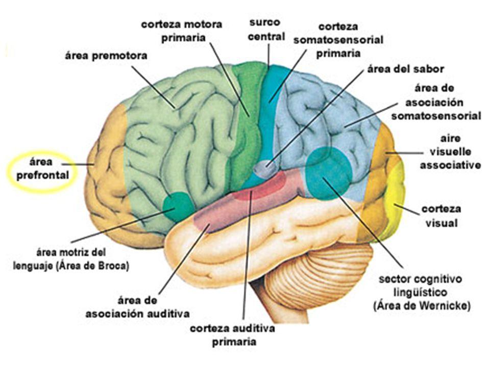 4.EVOLUCIÓN La mielinización es un fundamento básico dentro de la fisiología de la velocidad.