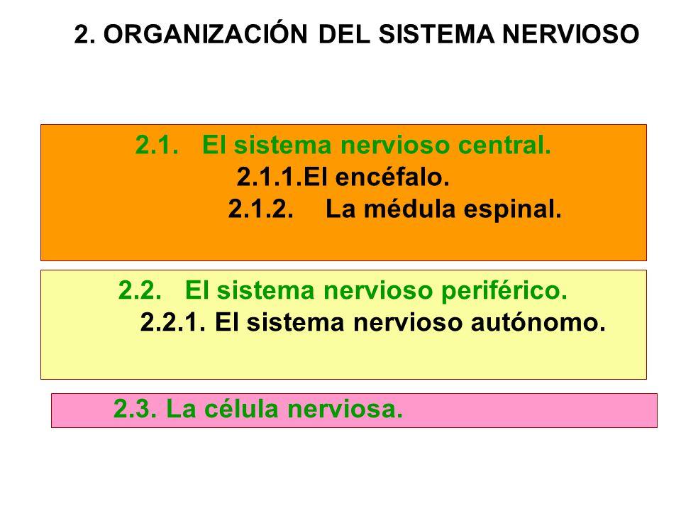 2.1.El sistema nervioso central. 2.1.1.El encéfalo. 2.1.2.La médula espinal. 2.2.El sistema nervioso periférico. 2.2.1.El sistema nervioso autónomo. 2