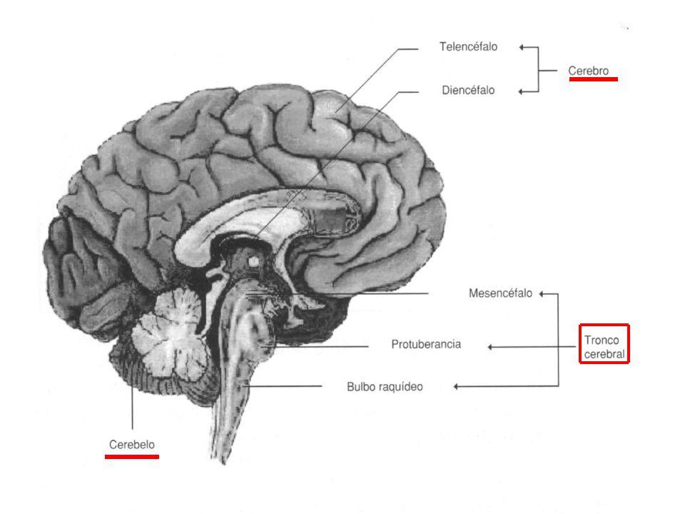 Es la continuación del tronco encefálico y recorre todo el tronco situada en el interior del canal medular de la columna vertebral.