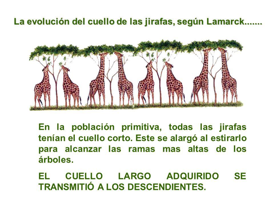 En la población primitiva, todas las jirafas tenían el cuello corto. Este se alargó al estirarlo para alcanzar las ramas mas altas de los árboles. EL