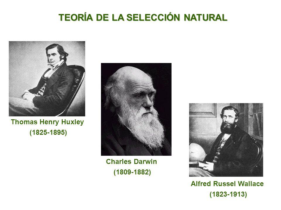 TEORÍA DE LA SELECCIÓN NATURAL Thomas Henry Huxley (1825-1895) Charles Darwin (1809-1882) Alfred Russel Wallace (1823-1913)