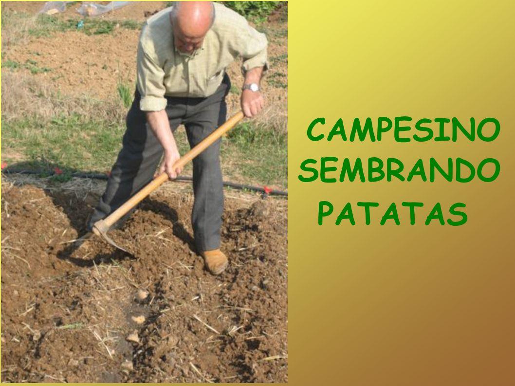 CAMPESINO SEMBRANDO PATATAS