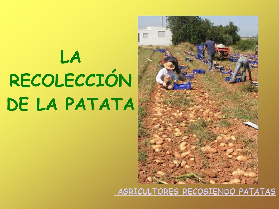 LA RECOLECCIÓN DE LA PATATA AGRICULTORES RECOGIENDO PATATAS