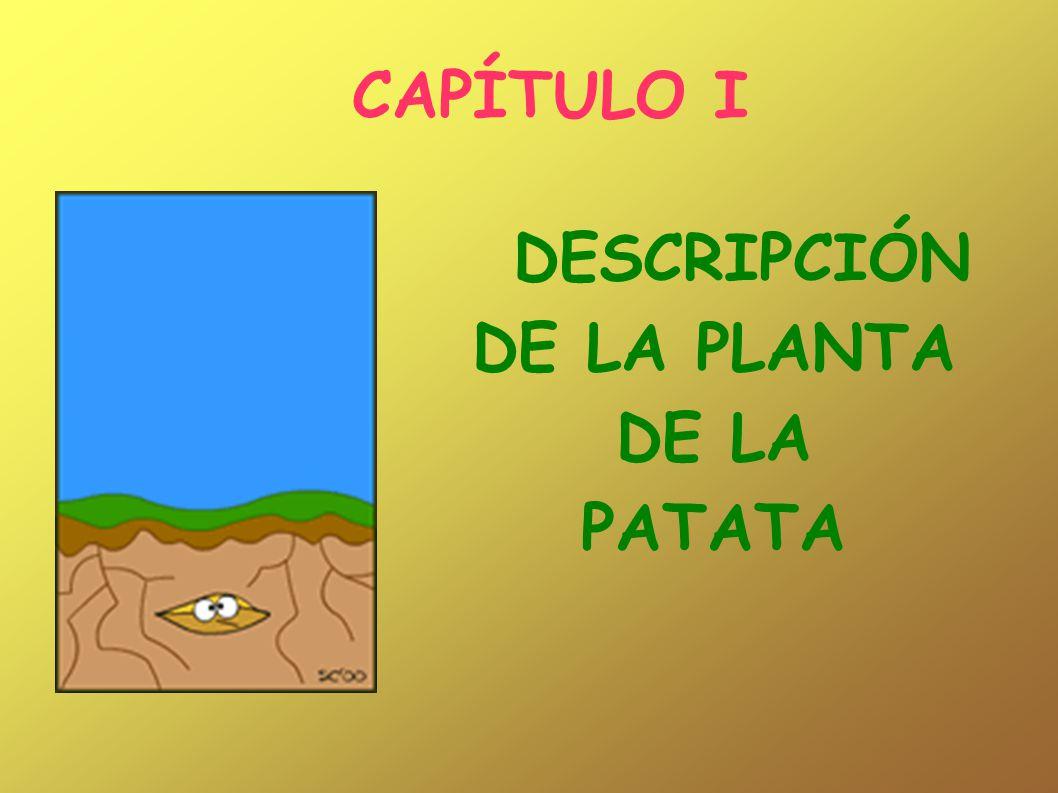 CAPÍTULO I DESCRIPCIÓN DE LA PLANTA DE LA PATATA