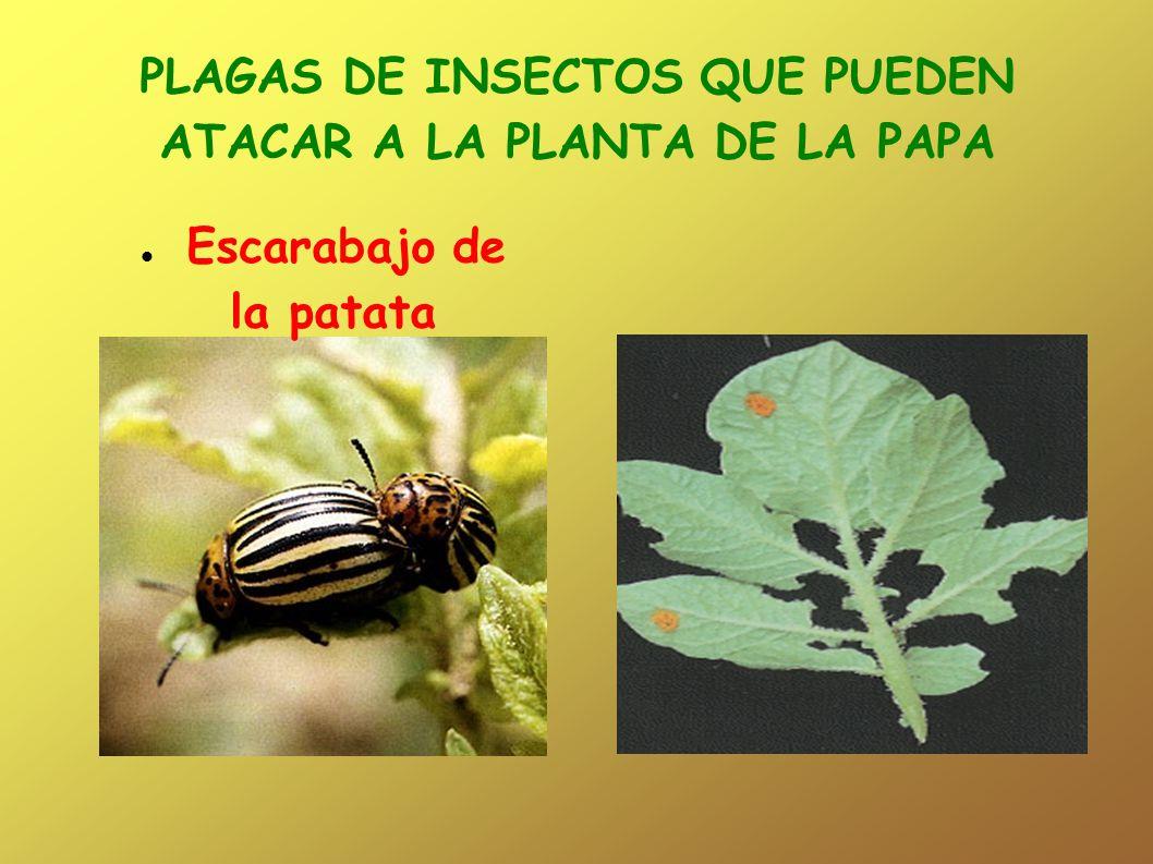 PLAGAS DE INSECTOS QUE PUEDEN ATACAR A LA PLANTA DE LA PAPA Escarabajo de la patata