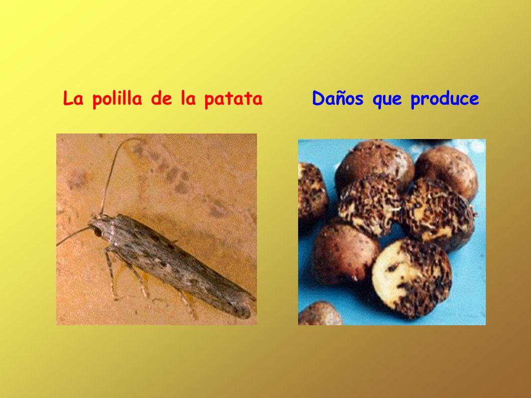 La polilla de la patata Daños que produce