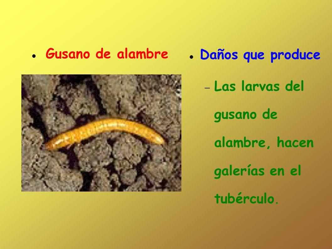 Daños que produce Las larvas del gusano de alambre, hacen galerías en el tubérculo. Gusano de alambre