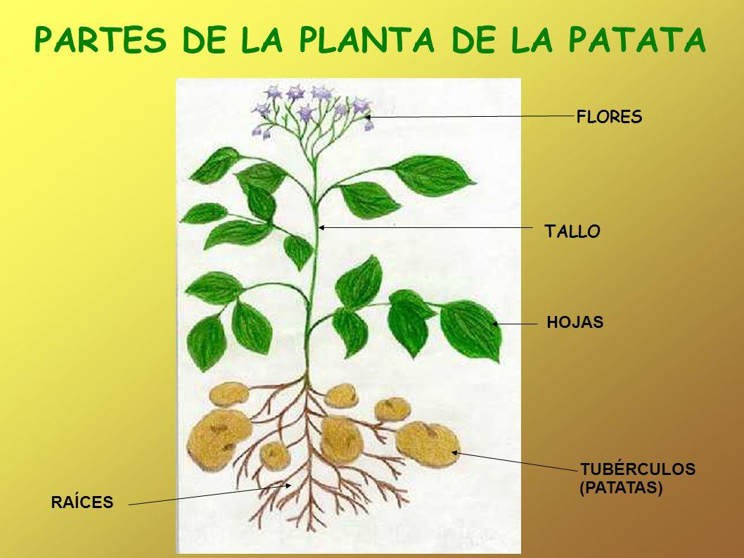 PARTES DE LA PLANTA DE LA PATATA RAÍCES TUBÉRCULOS (PATATAS) HOJAS FLORES TALLO
