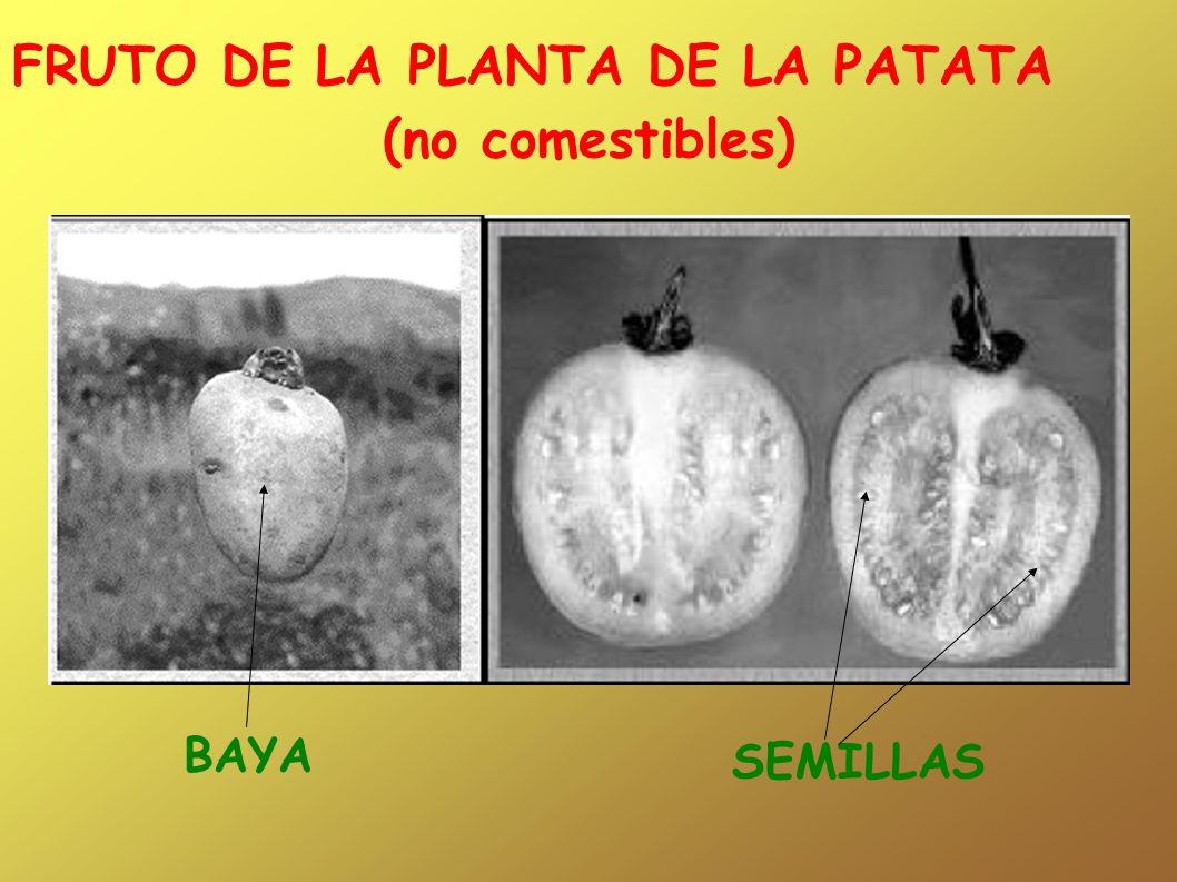 FRUTO DE LA PLANTA DE LA PATATA (no comestibles) BAYA SEMILLAS