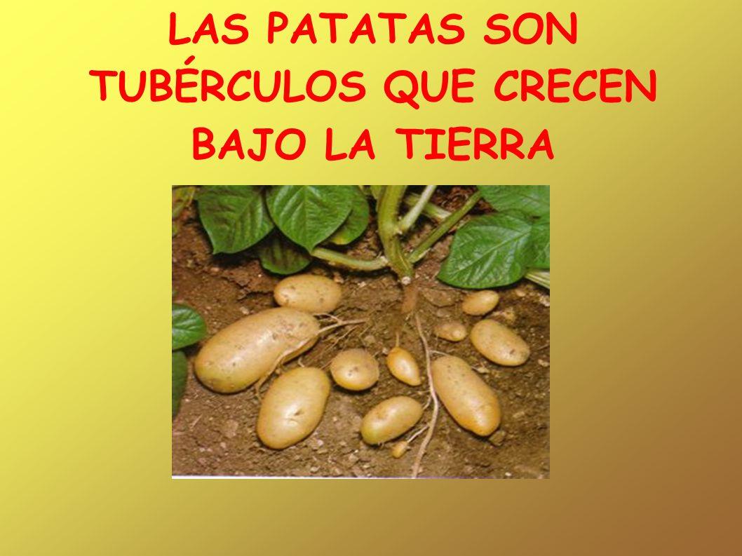 CANCIÓN EL CORRO DE LA PATATA Al corro de la patata comeremos ensalada como comen los señores naranjitas y limones.