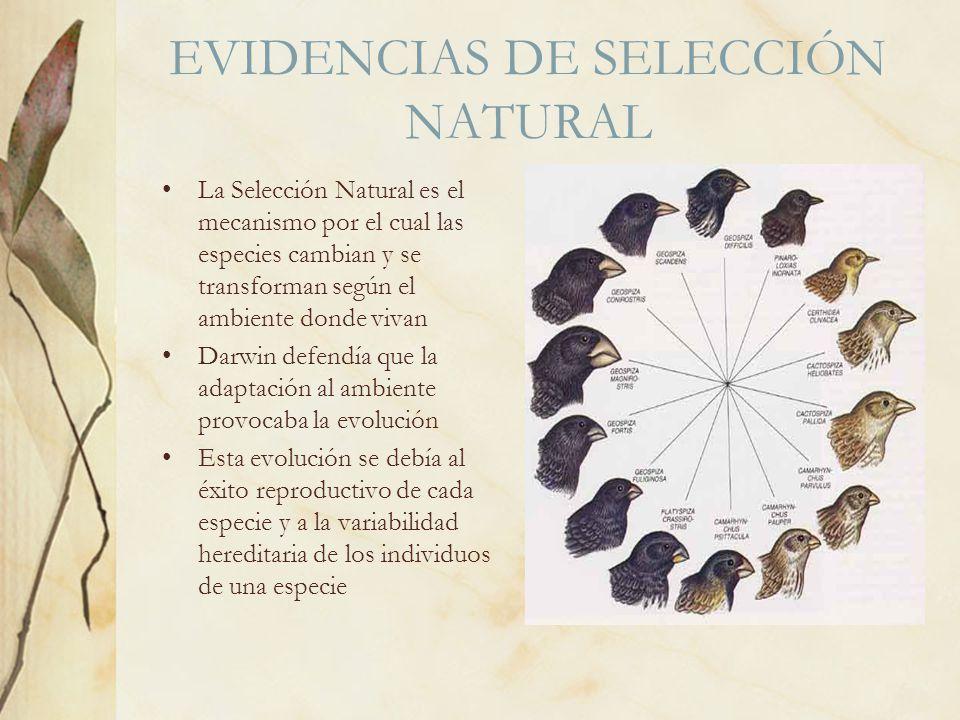 EVIDENCIAS DE SELECCIÓN NATURAL La Selección Natural es el mecanismo por el cual las especies cambian y se transforman según el ambiente donde vivan D