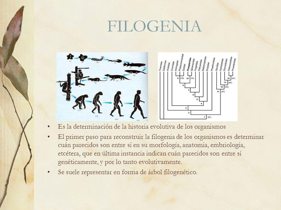 FILOGENIA Es la determinación de la historia evolutiva de los organismos El primer paso para reconstruir la filogenia de los organismos es determinar