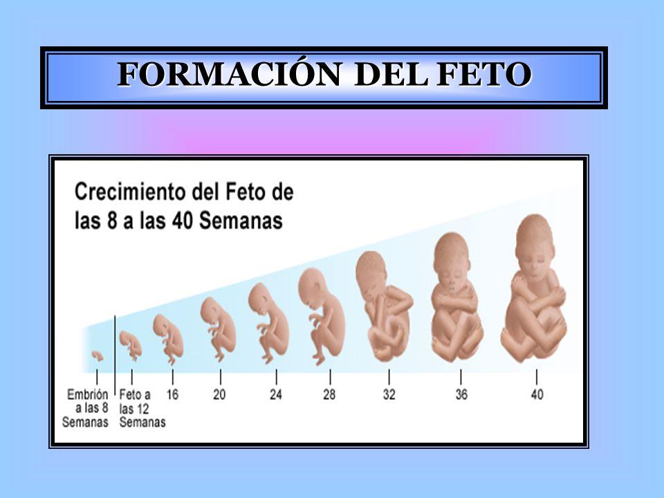 FORMACIÓN DEL FETO