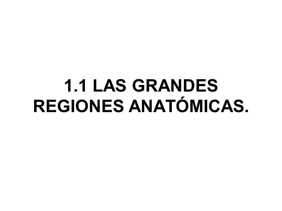 1.1 LAS GRANDES REGIONES ANATÓMICAS.