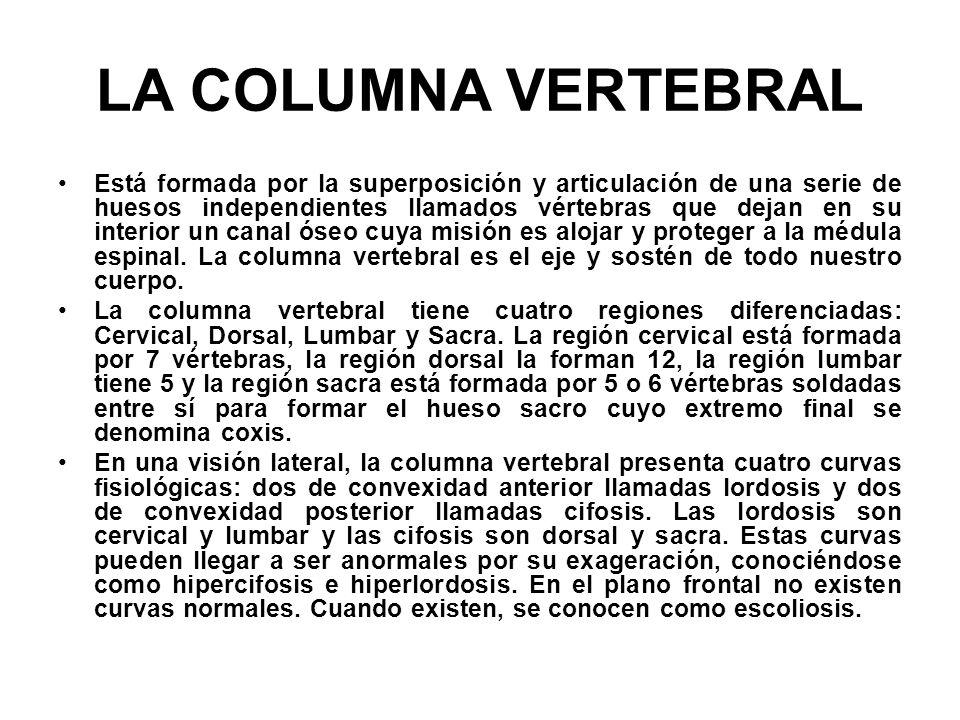 LA COLUMNA VERTEBRAL Está formada por la superposición y articulación de una serie de huesos independientes llamados vértebras que dejan en su interio