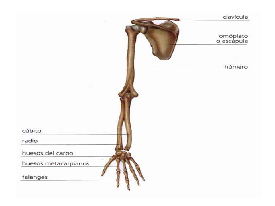 EL MIEMBRO INFERIOR La estructura ósea del miembro inferior está formada por los huesos de la pelvis, el fémur, la rótula, la tibia, el peroné y los huesos del pié (tarso, metatarso y dedos).