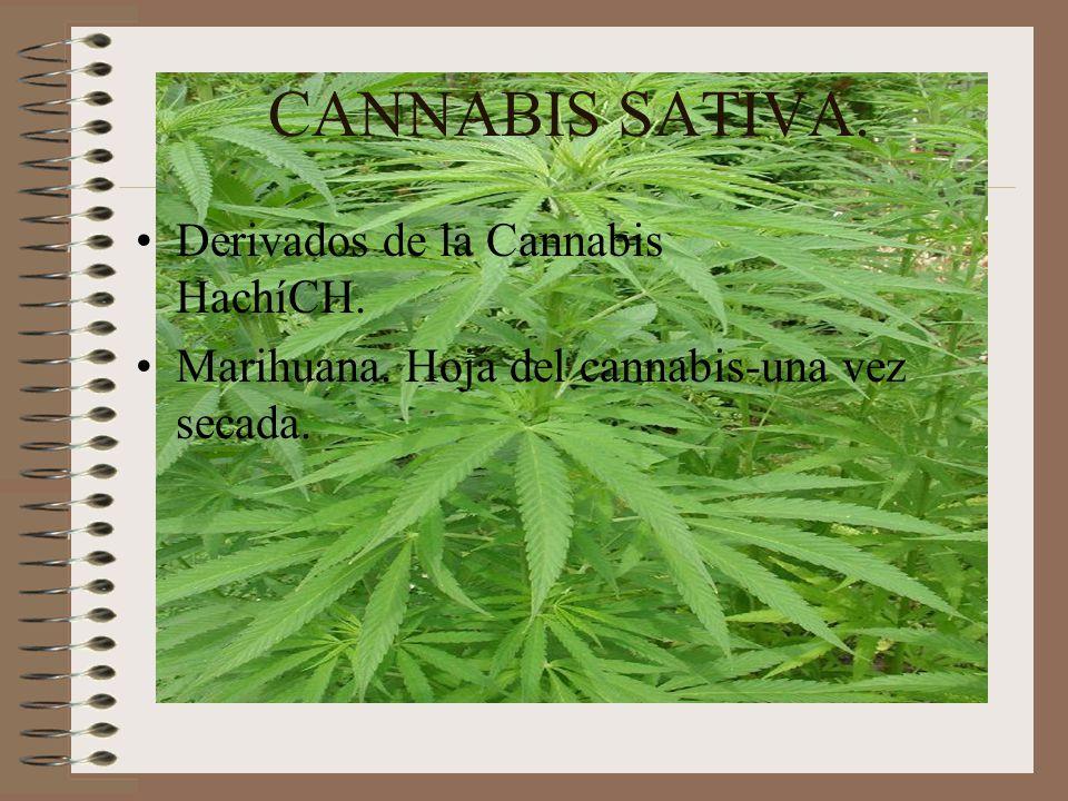 CANNABIS SATIVA. Derivados de la Cannabis HachíCH. Marihuana. Hoja del cannabis-una vez secada.