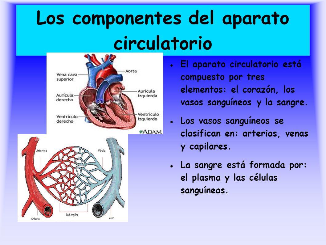 Los componentes del aparato circulatorio El aparato circulatorio está compuesto por tres elementos: el corazón, los vasos sanguíneos y la sangre. Los