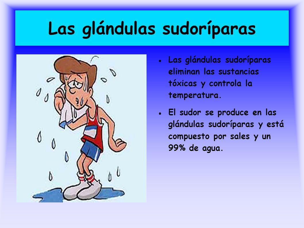 Las glándulas sudoríparas Las glándulas sudoríparas eliminan las sustancias tóxicas y controla la temperatura. El sudor se produce en las glándulas su