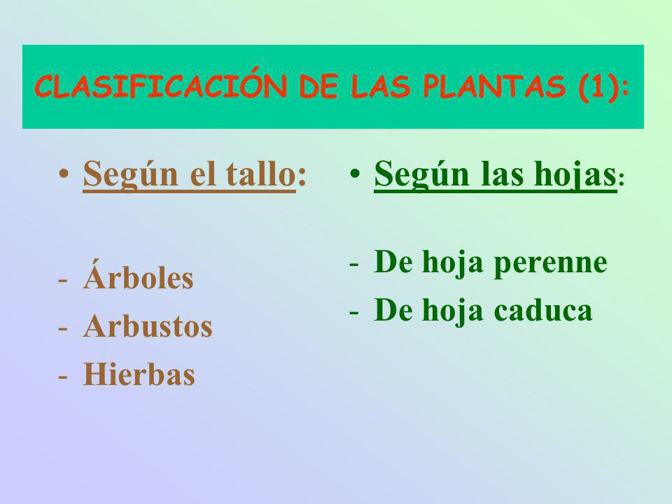 CLASIFICACIÓN DE LAS PLANTAS (1): Según el tallo: -Árboles -Arbustos -Hierbas Según las hojas : -De hoja perenne -De hoja caduca