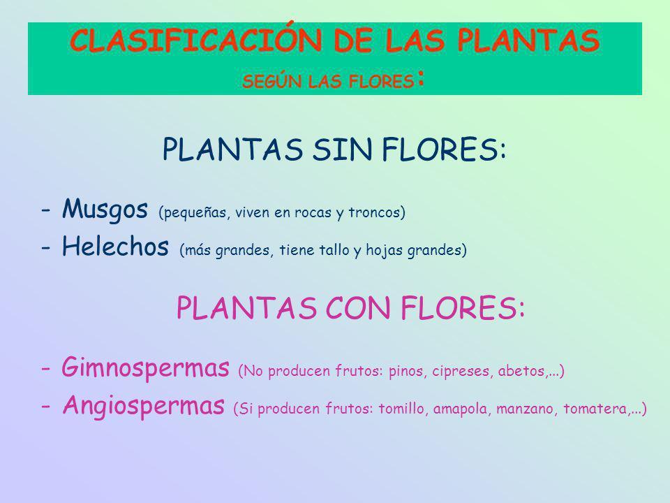 PLANTAS SIN FLORES: -Musgos (pequeñas, viven en rocas y troncos) -Helechos (más grandes, tiene tallo y hojas grandes) PLANTAS CON FLORES: -Gimnospermas (No producen frutos: pinos, cipreses, abetos,...) -Angiospermas (Si producen frutos: tomillo, amapola, manzano, tomatera,...) CLASIFICACIÓN DE LAS PLANTAS SEGÚN LAS FLORES :
