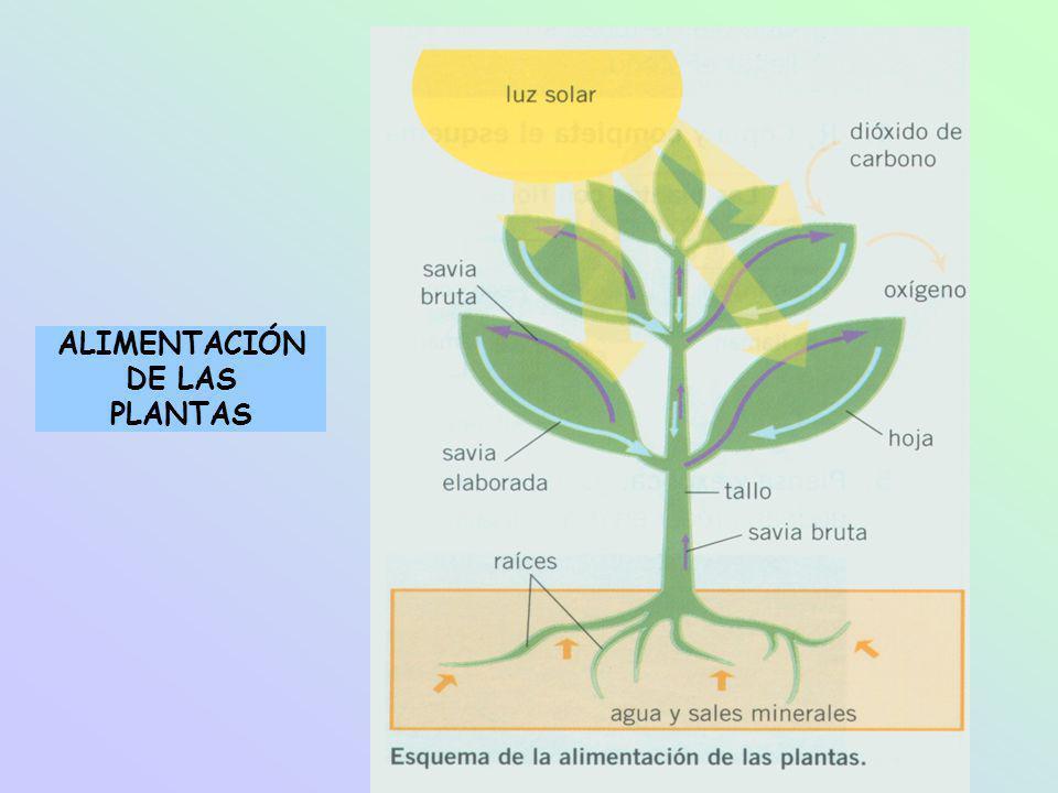 LA RESPIRACIÓN Y LA FOTOSÍNTESIS * Durante las 24 ho- ras del día la planta respira: Toma oxígeno del aire y desprende dióxido de carbono.