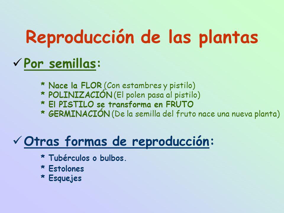 Reproducción de las plantas Por semillas: * Nace la FLOR (Con estambres y pistilo) * POLINIZACIÓN (El polen pasa al pistilo) * El PISTILO se transforma en FRUTO * GERMINACIÓN (De la semilla del fruto nace una nueva planta) Otras formas de reproducción: * Tubérculos o bulbos.