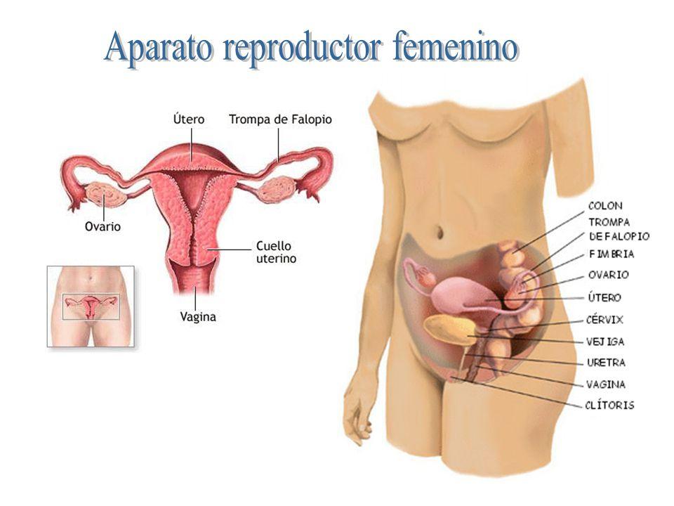 El aparato urinario es igual en el hombre que en la mujer.