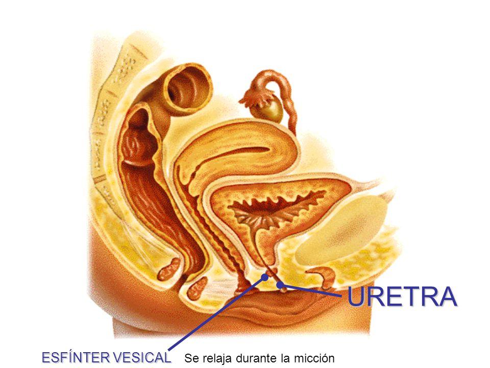 Uretra La uretra femenina es una vía únicamente urinaria (no tiene nada que ver con el Aparato Genital o Reproductor) (más corta que la uretra masculina)
