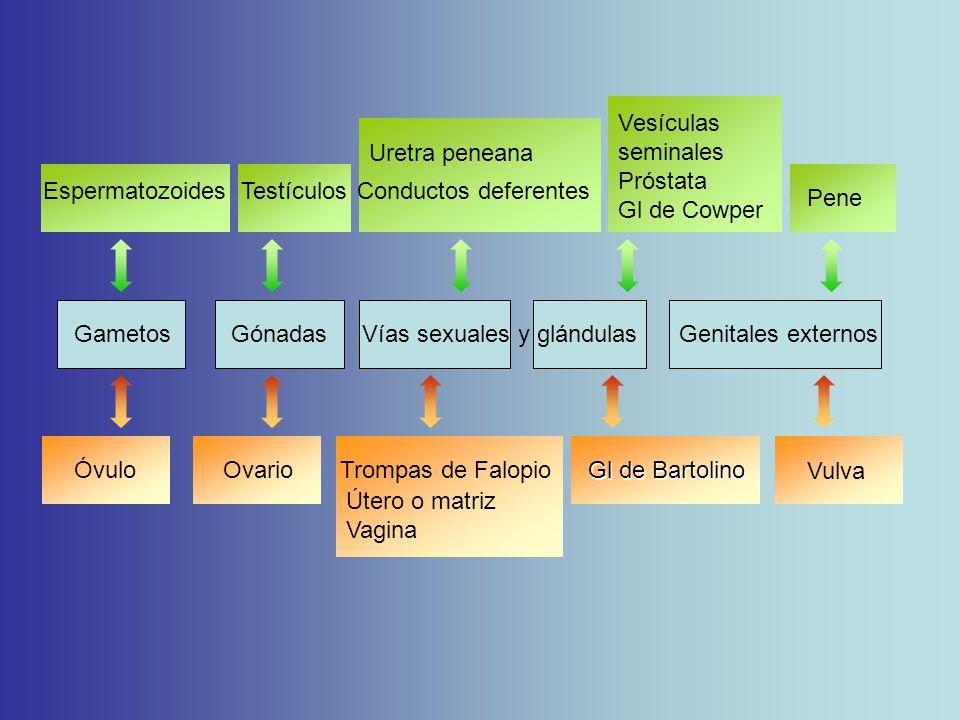 Gametos Gónadas Vías sexuales y glándulas Genitales externos Espermatozoides Testículos Conductos deferentes Óvulo Ovario Trompas de Falopio Uretra peneana Útero o matriz Vagina Pene Vulva Gl de Bartolino Vesículas seminales Próstata Gl de Cowper
