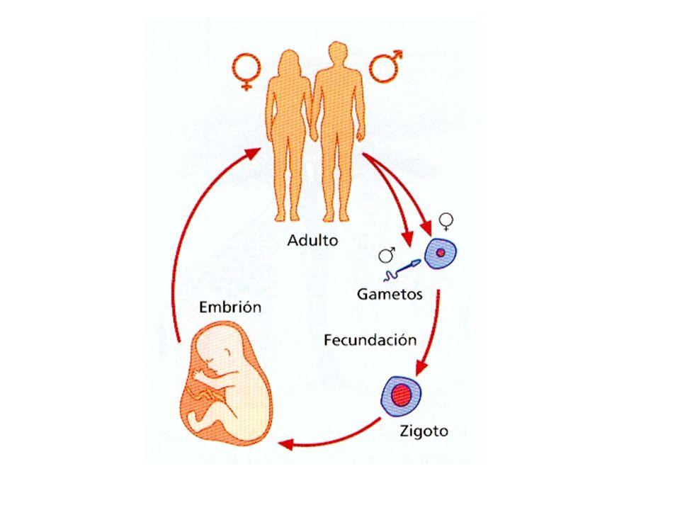 La unión de los dos gametos, óvulo y espermatozoide, se denomina FECUNDACIÓN o FERTILIZACIÓN