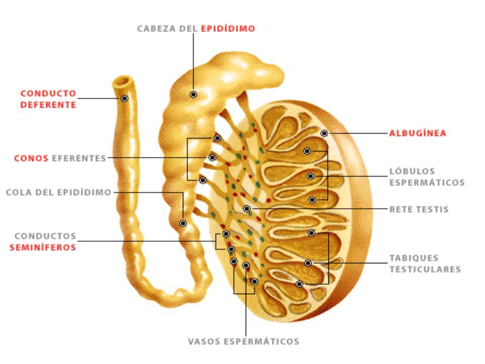 La píldora funciona de diferentes maneras para prevenir el embarazo: suprime la ovulación de tal forma que los ovarios no liberan el óvulo y ocasiona cambios en el moco cervical, haciendo que éste sea más espeso y que por lo tanto sea más difícil para el espermatozoide nadar hacia el útero.