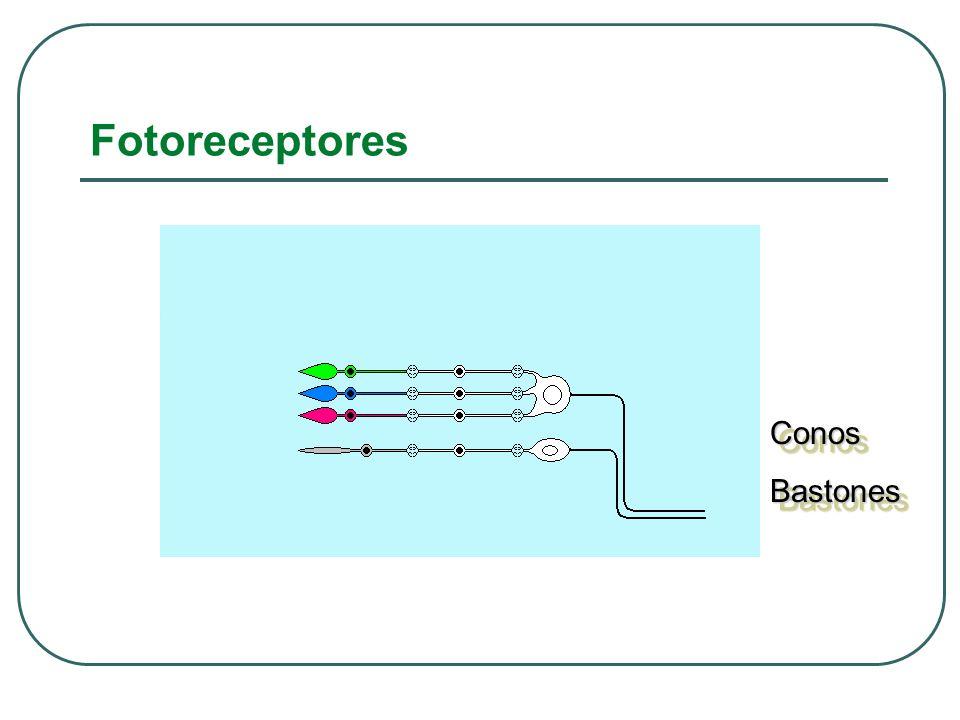 Fotoreceptores ConosBastonesConosBastones