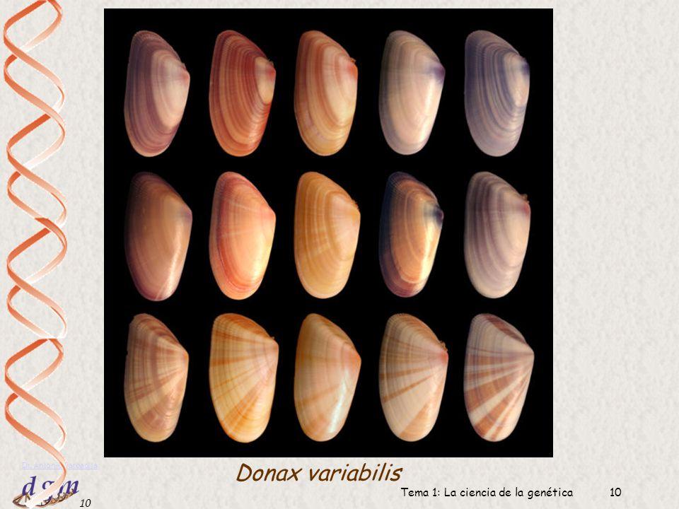9 Dr. Antonio Barbadilla Tema 1: La ciencia de la genética9 Ejemplos de variabilidad fenotípica