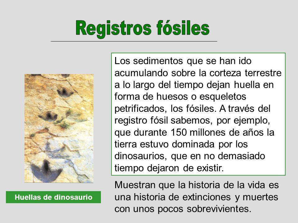 Huellas de dinosaurio Los sedimentos que se han ido acumulando sobre la corteza terrestre a lo largo del tiempo dejan huella en forma de huesos o esqueletos petrificados, los fósiles.